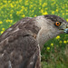 Cooper's Hawk (Accipiter cooperii) by Don Delaney