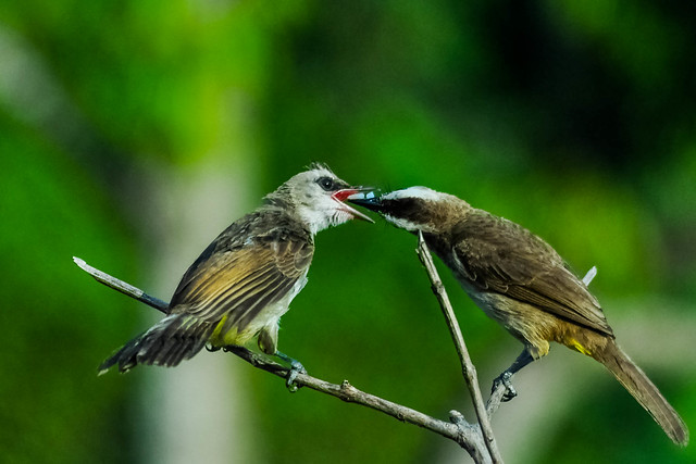 yummy... Yellow-vented Bulbul (Pycnonotus goiavier)