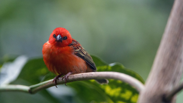 Perched red fody