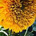 sunflower by kurt schlosser