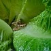 Rattler in the Lettuce Patch by ricko