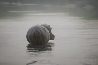 hippo in the mist