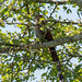 Squirrel Cuckoo (Piaya cayana) por Chub G's M&D