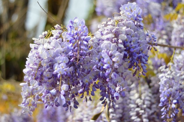 glicine, wisteria, lilla, wildflower girl, look, salopette (8)