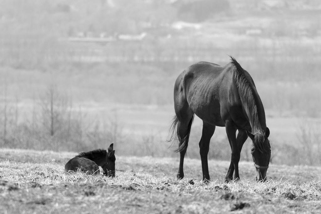 ママと一緒 - Baby Horse with Mam...