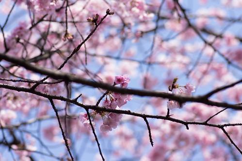 _IMG0591桜