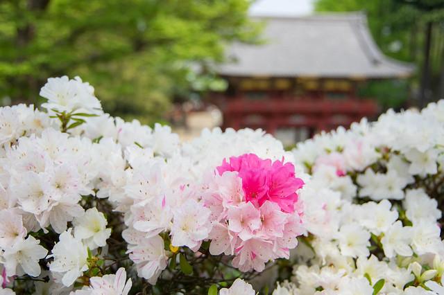 つつじまつり2015@根津神社