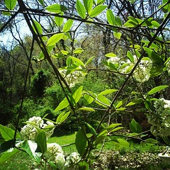 V is for viburnum or victory...this one has lots of dead stuff in it, but is blooming profusely!