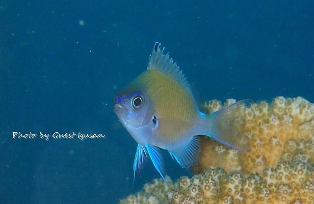 アマミスズメダイ幼魚。かわいいなー