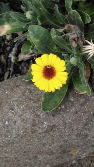 Flor callejera de un día de verano