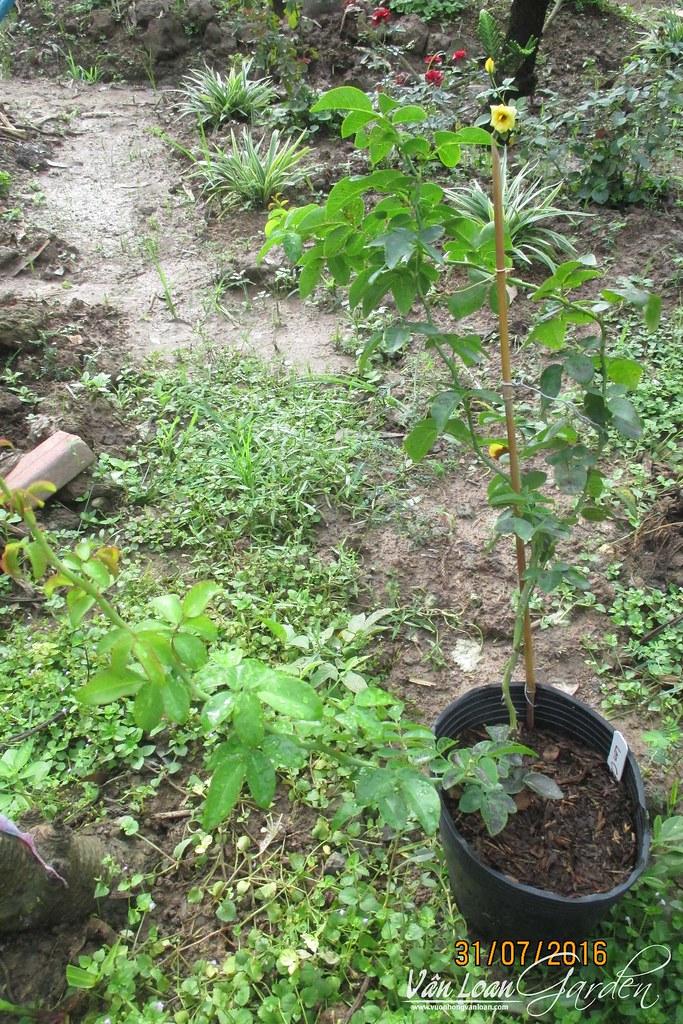 cach trong hong leo lan chi jasmina xuong dat (3)-vuonhongvanloan.com