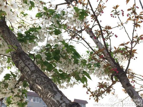 一棵树 两种花