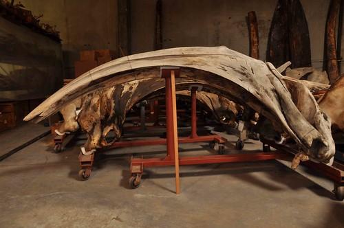 弓頭鯨的頭骨(側面照)。作者攝於洛杉磯自然史博物館。