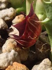 Huernia oculata