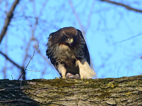 Sheep Meadow Hawk - 8420