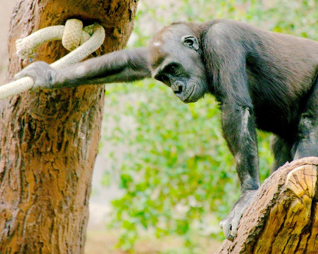 Gorilla (Gorilla gorilla (gorilla gorilla (gorilla gorilla)))_2