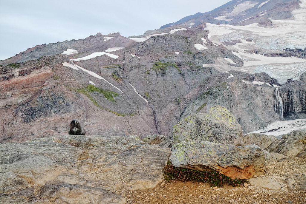 A hoary marmot sits in front of Mount Rainier