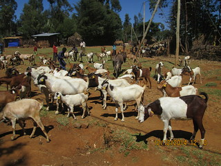 Cooperative breeding group goats are identified by ear tags, W. Shoa, Ethiopia.