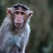 Bonnet macaque by Myn Gnax Enty (Sang Sang)