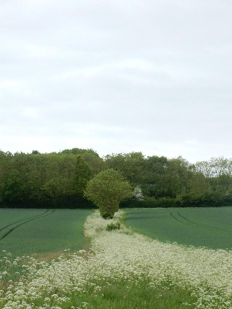 Cow parsley fringe Bures to Sudbury