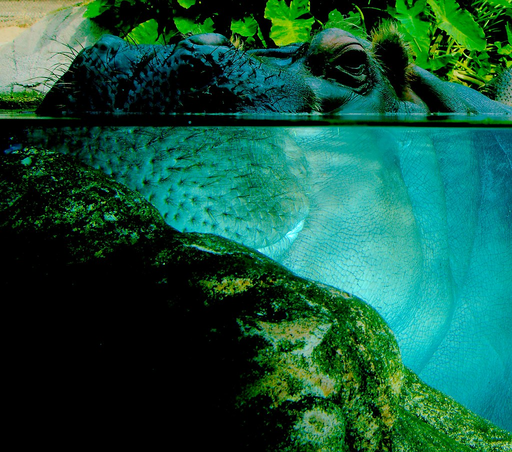 Common Hippopotamus (Hippopotamus amphibius)_4