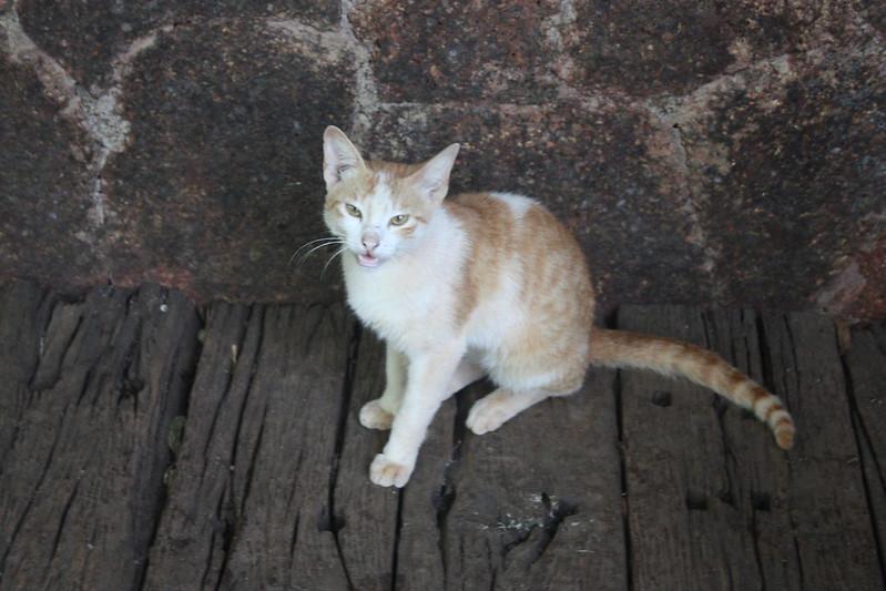 индийский котик