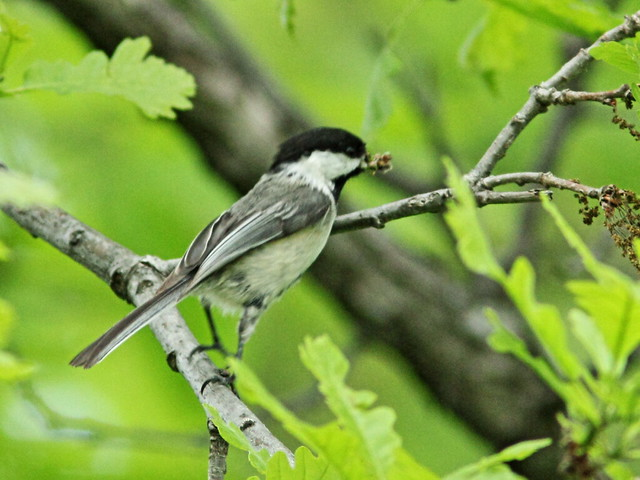 Black-capped Chickadee 3-20150515