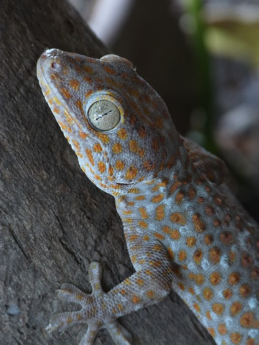 Tokay Gecko (Tuko)