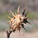 Oak Leaf Thorn Apple, Datura quercifolia