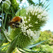 White teasle buds with their bee visitor by Monceau