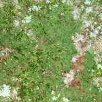 Vittaria appalachiana