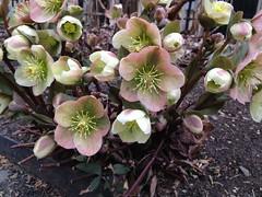 Hellebore cultivar