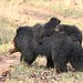 Sloth Bear with cubs (Pradeep Singh)