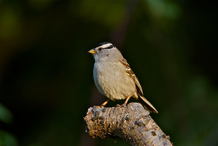 White Crowned Sparrow 3 of 3