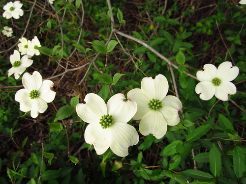 Dogwood Blossoms #1