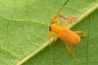 Longhorn beetle (Serixia sp.) - DSC_7571b