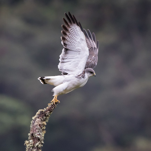 ecuador raptorshawkseagles southamerica variablehawk yacurinp sanandrés zamorachinchipe