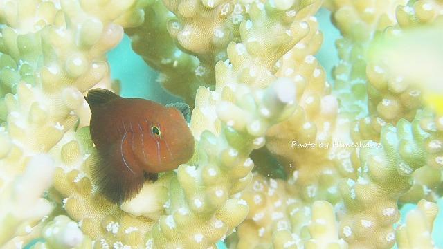 フタイロコバンハゼ成魚