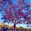#jacaranda completamente en flor #jacarandamimosifolia #waitingandrea #cordoba #tiempobrasero