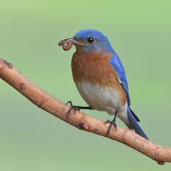 Bluebird, male