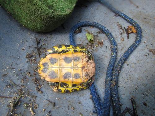 Turtle, fallen.