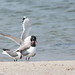 Doug Gochfeld has added a photo to the pool:Franklin's Gull attempting to copulate with a Laughing Gull. Plum Beach, Brooklyn, NY. 05/28/15.ebird.org/ebird/view/checklist?subID=S23690355