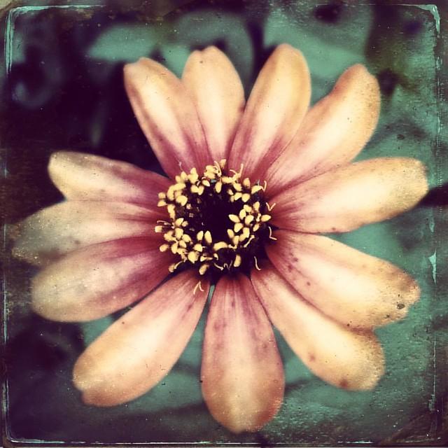 Zinnia #zinnia #zinnias #flowers #patiogarden