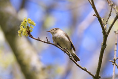 Willow Warbler singing its heart out
