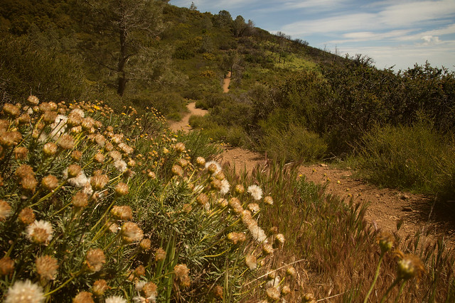Dandelions on Mount Diablo