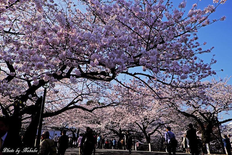 桜 -千鳥ヶ淵周辺- by Nakabo