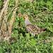 Gray Partridge (Perdix perdix) Rapphöna