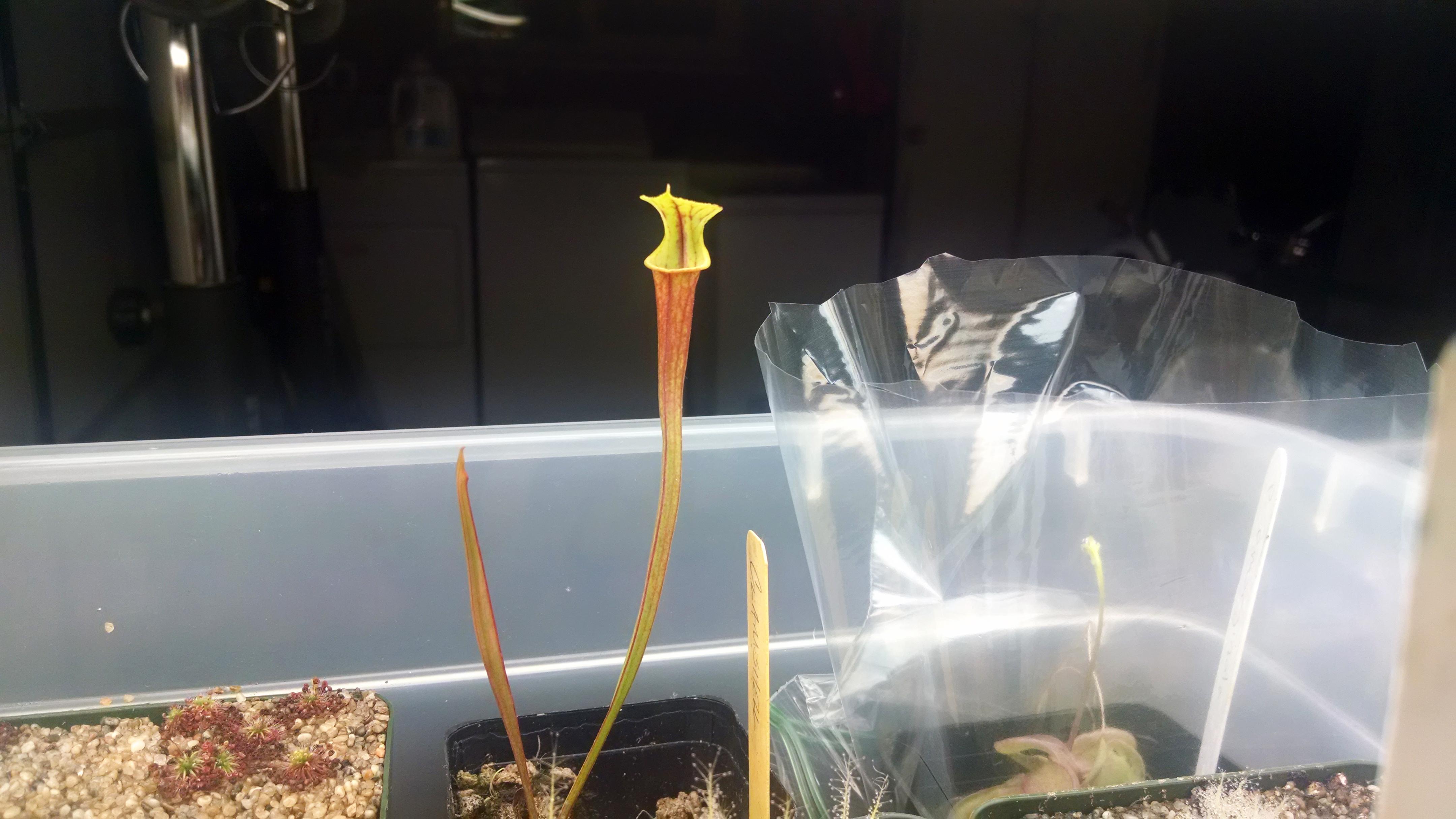 Sarracenia flava var. rubricorpora.