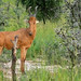 Small photo of Lelwel Hartebeest (Alcelaphus lelwel)