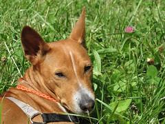 dog breed, animal, hound, dog, grass, pet, mammal, basenji,